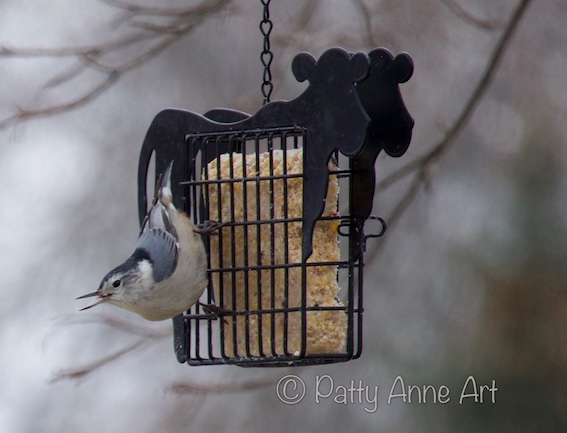 Backyard Nuthatch photo