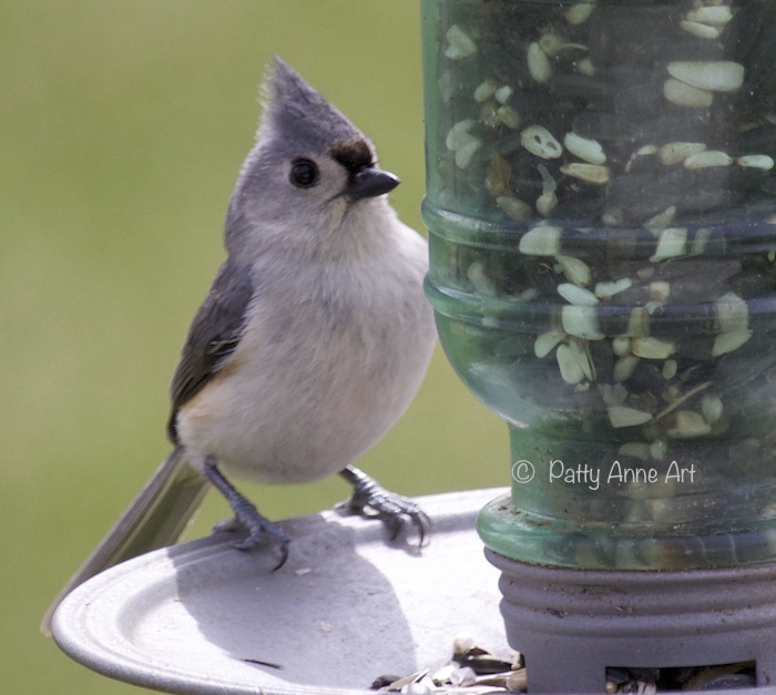 tufted titmouse - lovely