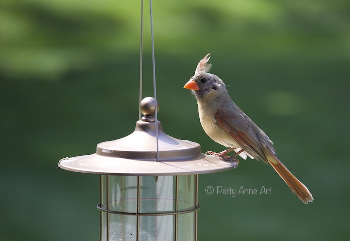 Female Cardinal photo