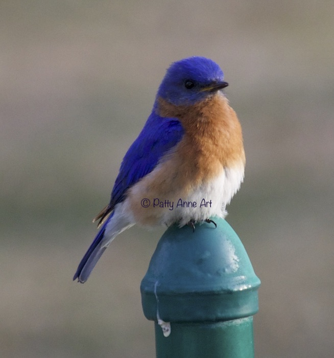 Male bluebird photo