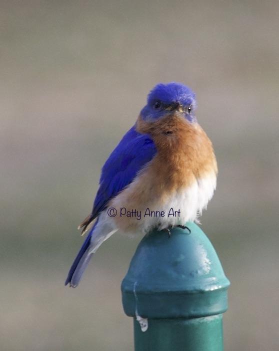 male bluebird photo
