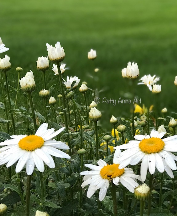 Daisy love garden photo