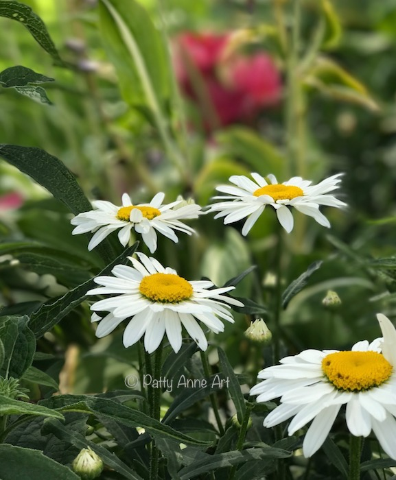Cozy Garden Daisies photo