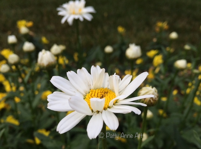 Lovely Daisy bloom