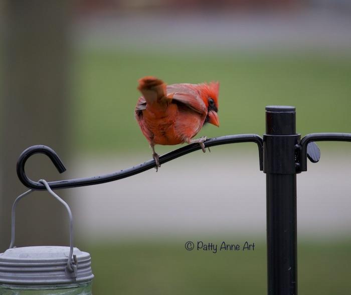 Male Cardinal photo - backside
