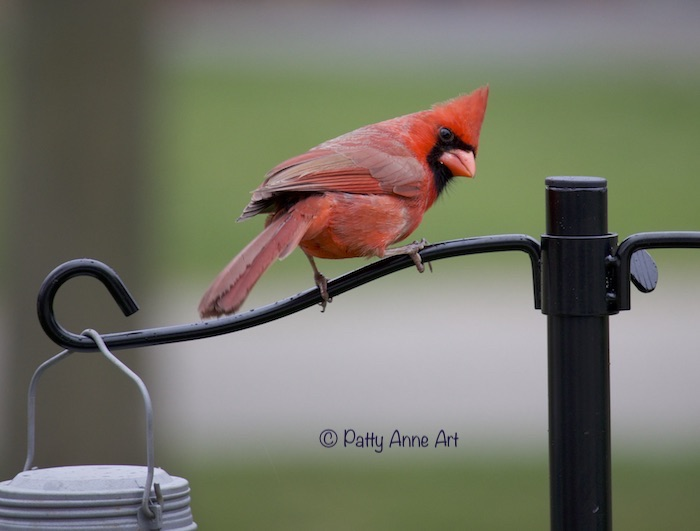 Male Cardinal photo - looking back