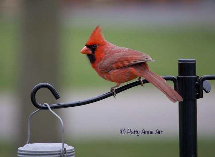 Male Cardinal photo