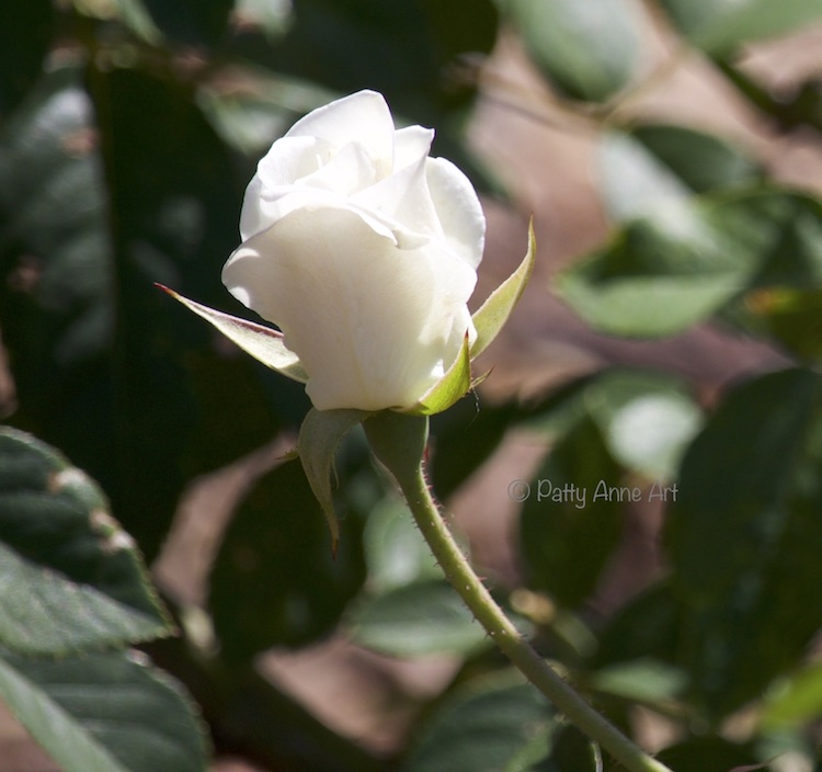 Delicate white rose photo