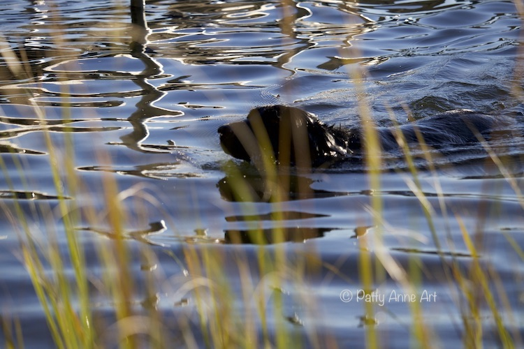 Labrador Retriever swimming photo