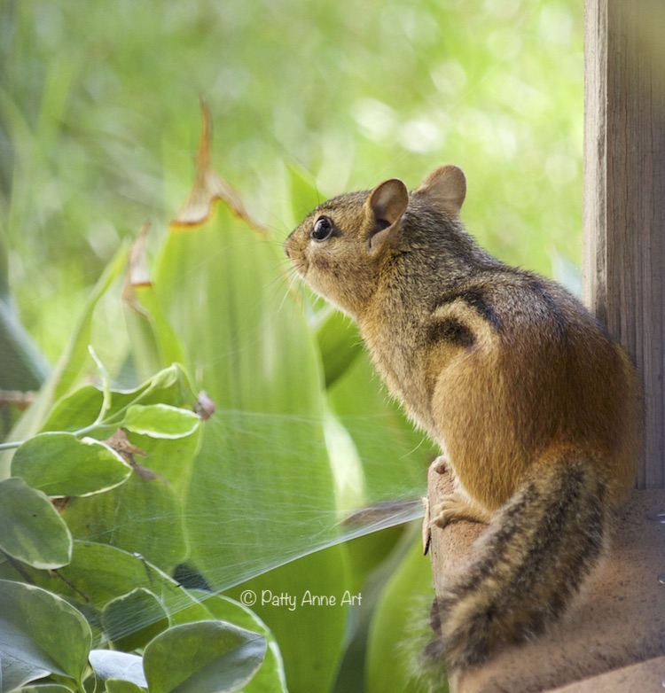 Chipmunk on deck photograph