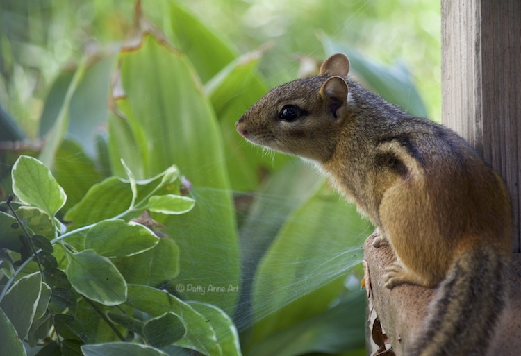 Chipmunk profile photograph