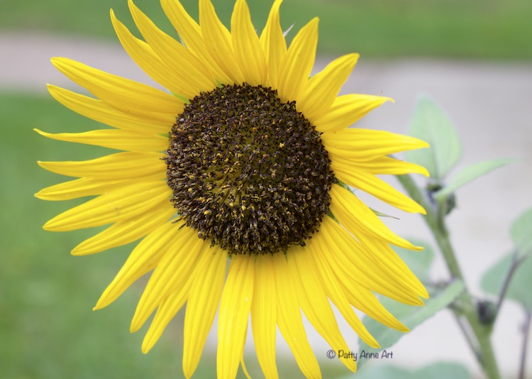 Sunflower bloom photograph