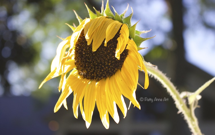 wilting sunflower in evening sun photo