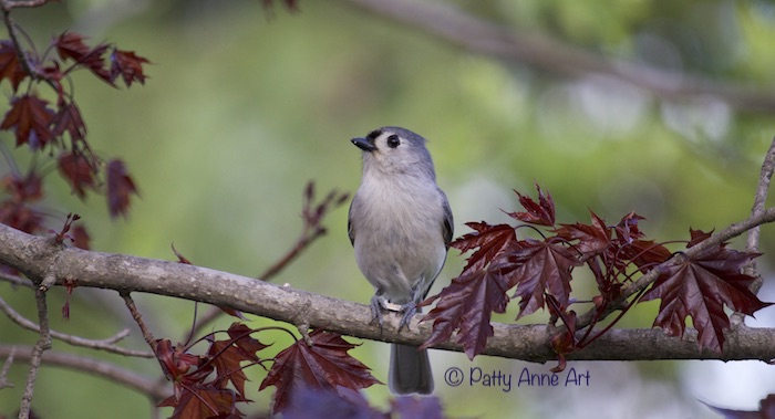 Tufted Titmouse Maple tree