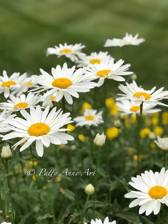 Joyful daisies