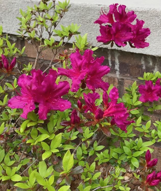 Azaleas in hot pink